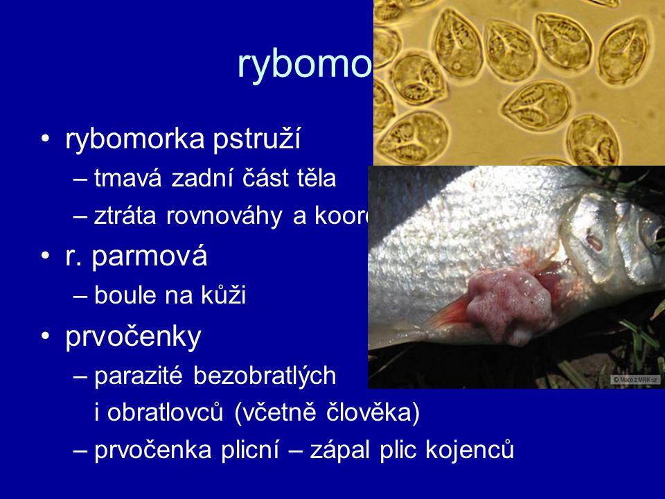 rybomorky rybomorka pstruží r. parmová prvočenky tmavá zadní část těla