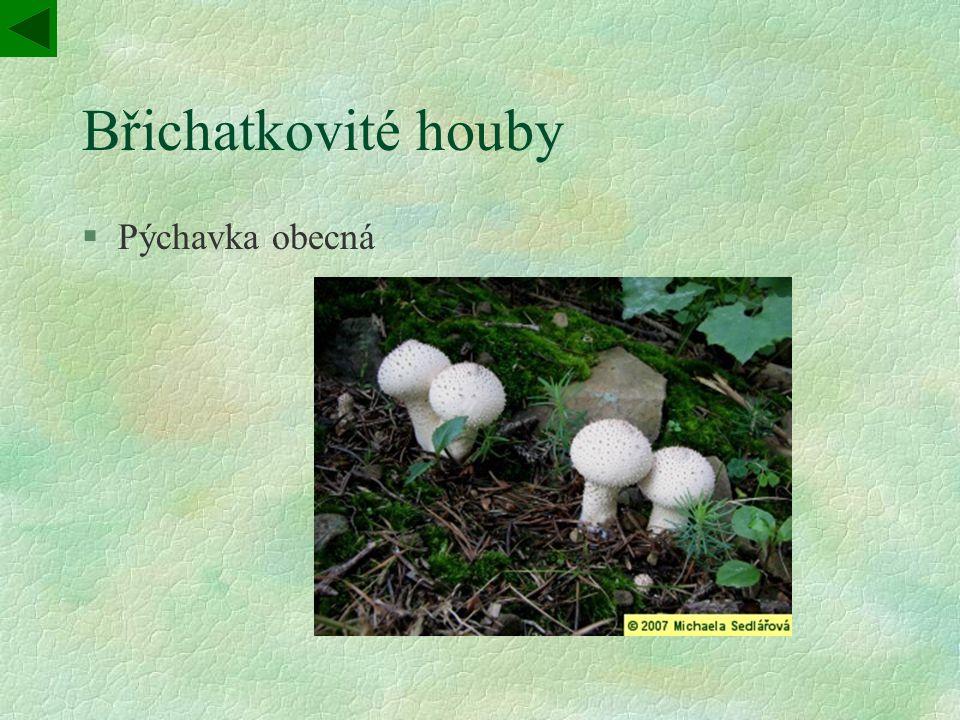 Břichatkovité houby Pýchavka obecná