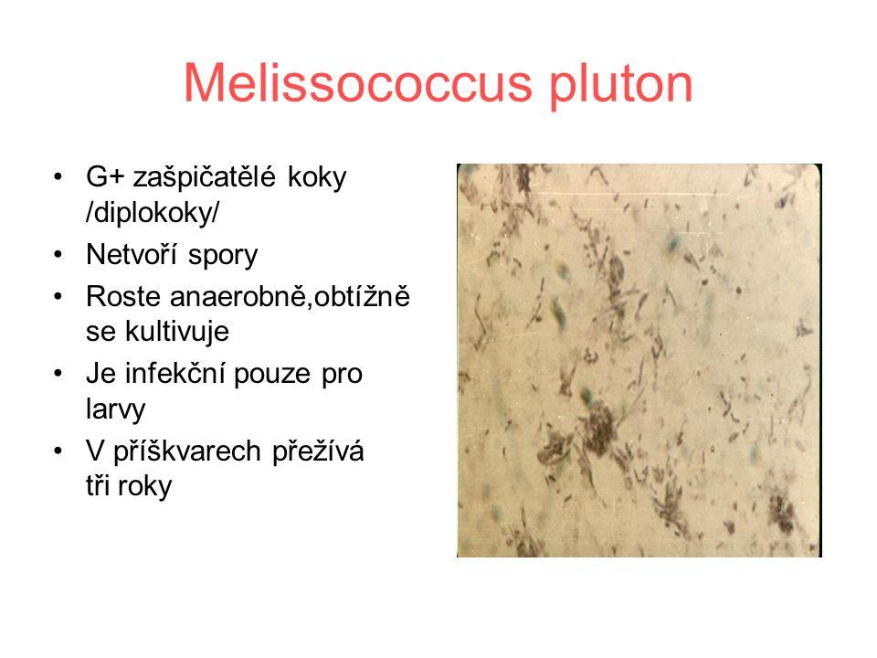 Melissococcus pluton G+ zašpičatělé koky /diplokoky/ Netvoří spory