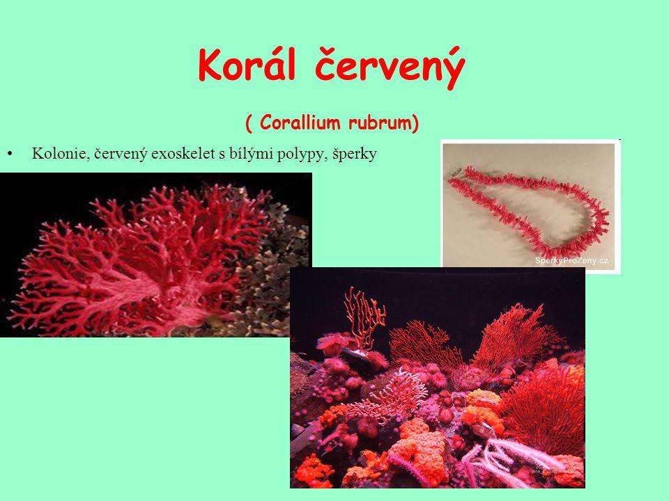 Korál červený ( Corallium rubrum)