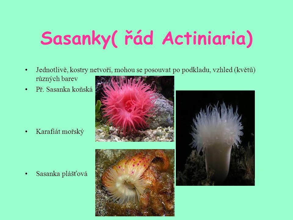 Sasanky( řád Actiniaria)