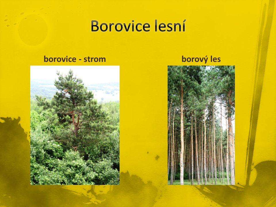 Borovice lesní borovice - strom borový les