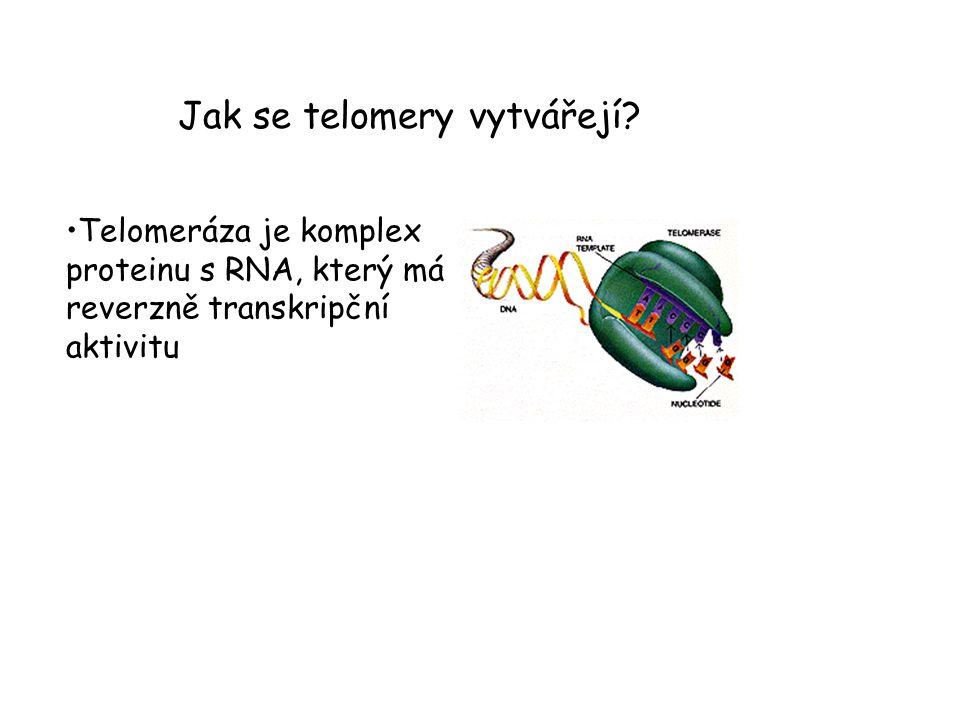 Jak se telomery vytvářejí