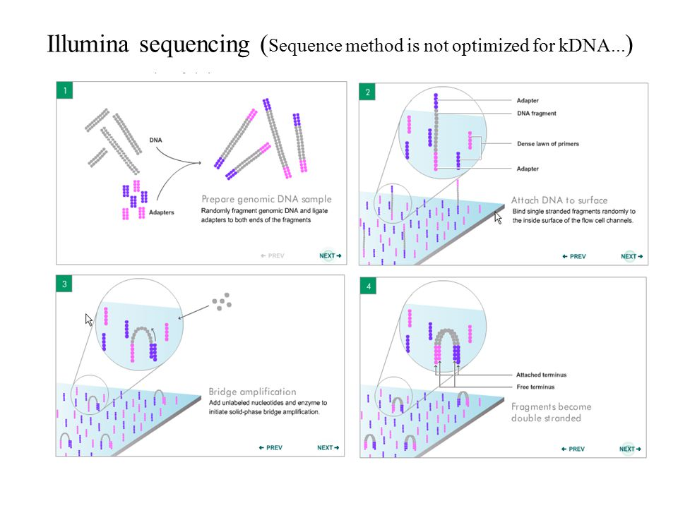 Illumina sequencing (Sequence method is not optimized for kDNA...)
