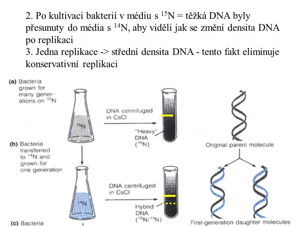 2. Po kultivaci bakterií v médiu s 15N = těžká DNA byly přesunuty do média s 14N, aby viděli jak se změní densita DNA po replikaci