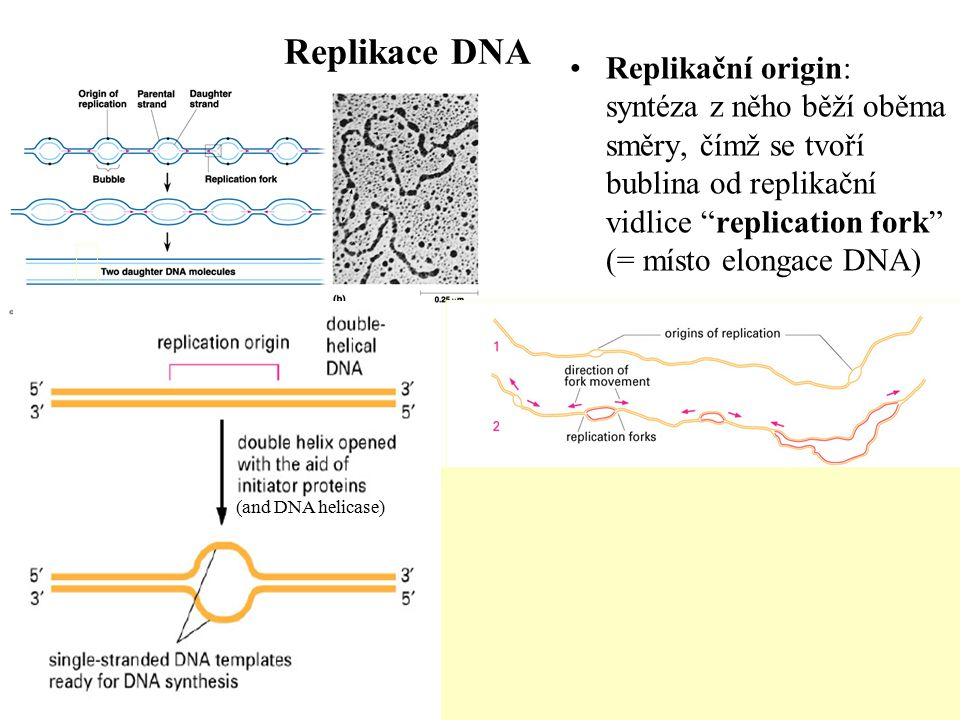 Replikace DNA