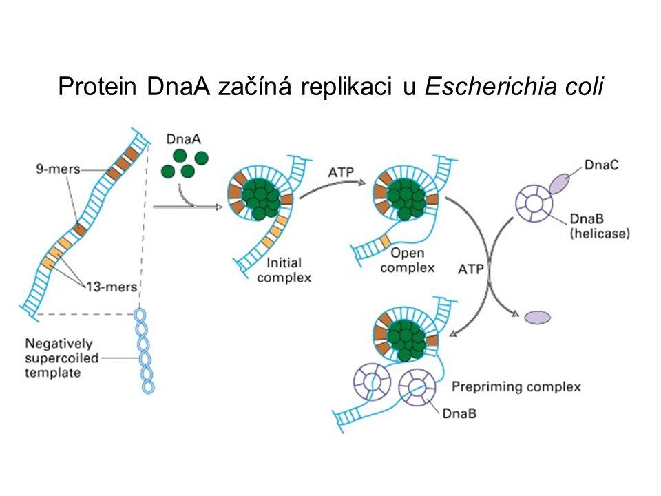 Protein DnaA začíná replikaci u Escherichia coli