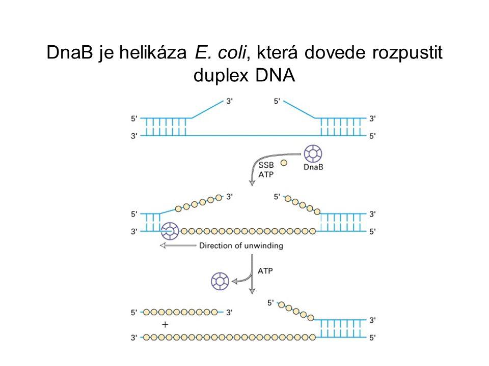 DnaB je helikáza E. coli, která dovede rozpustit duplex DNA
