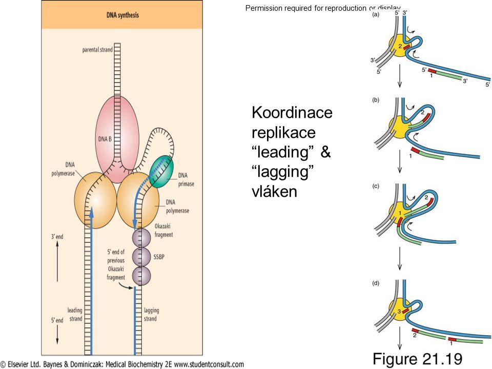 Koordinace replikace leading & lagging vláken