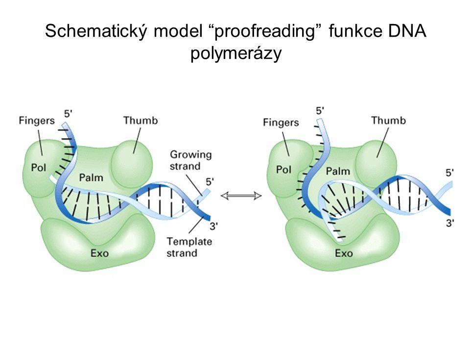 Schematický model proofreading funkce DNA polymerázy