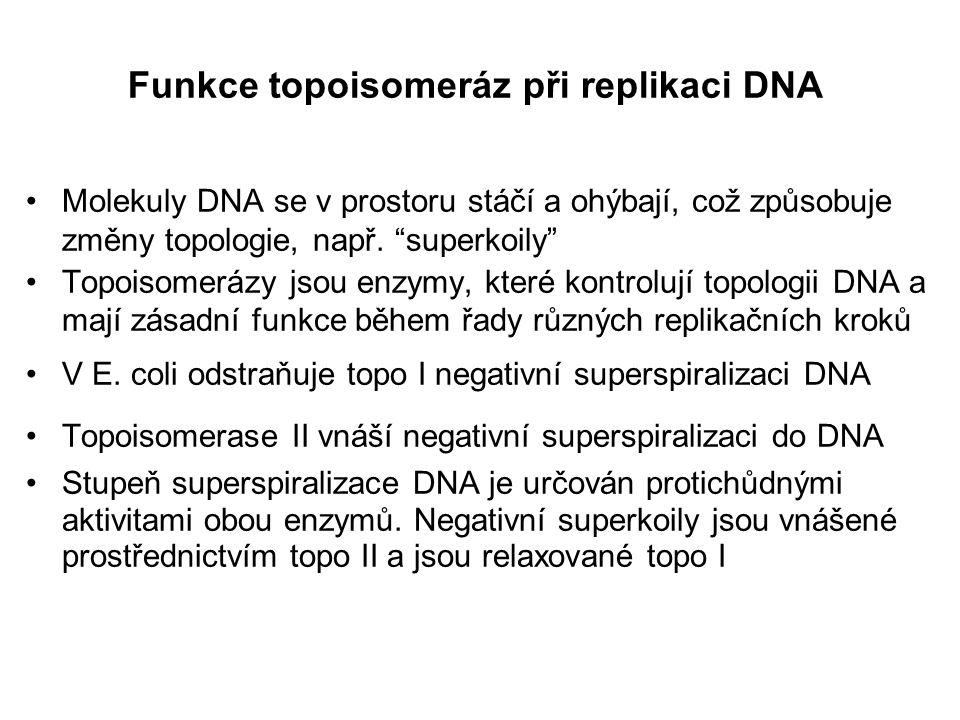 Funkce topoisomeráz při replikaci DNA