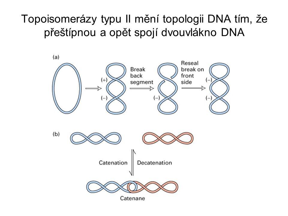 Topoisomerázy typu II mění topologii DNA tím, že přeštípnou a opět spojí dvouvlákno DNA