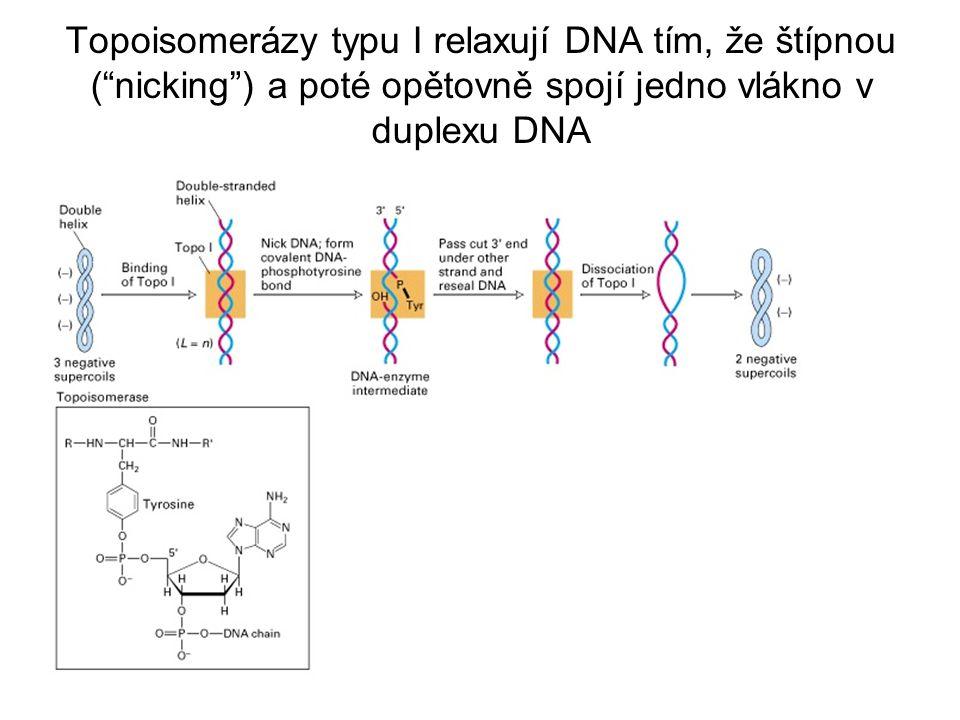 Topoisomerázy typu I relaxují DNA tím, že štípnou ( nicking ) a poté opětovně spojí jedno vlákno v duplexu DNA