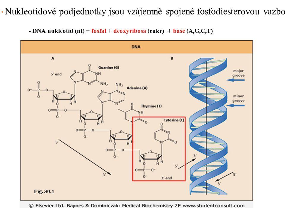 Nukleotidové podjednotky jsou vzájemně spojené fosfodiesterovou vazbou