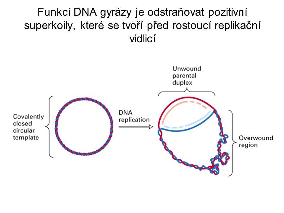 Funkcí DNA gyrázy je odstraňovat pozitivní superkoily, které se tvoří před rostoucí replikační vidlicí