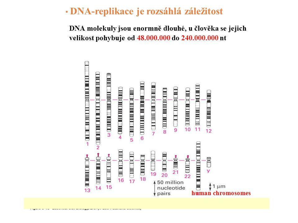 DNA-replikace je rozsáhlá záležitost