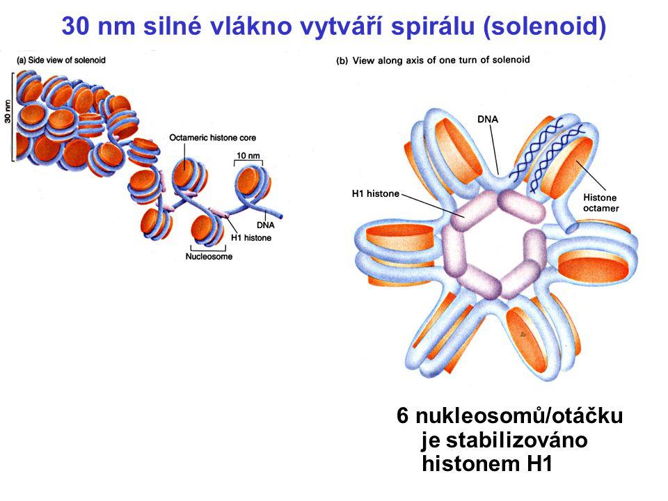 30 nm silné vlákno vytváří spirálu (solenoid)