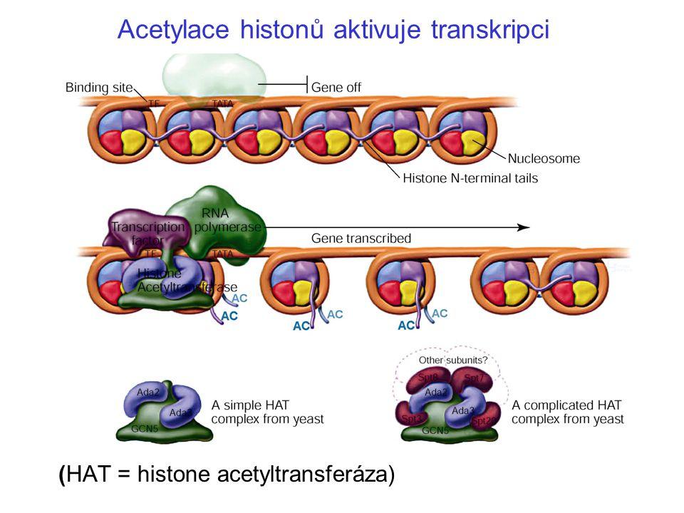 Acetylace histonů aktivuje transkripci