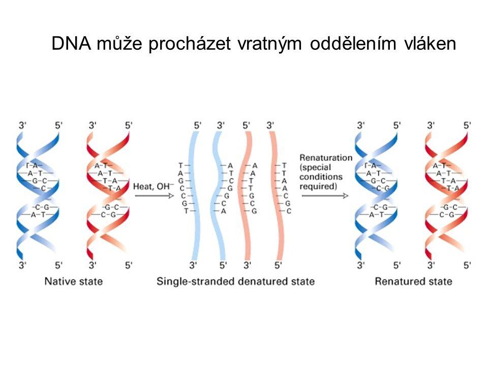 DNA může procházet vratným oddělením vláken