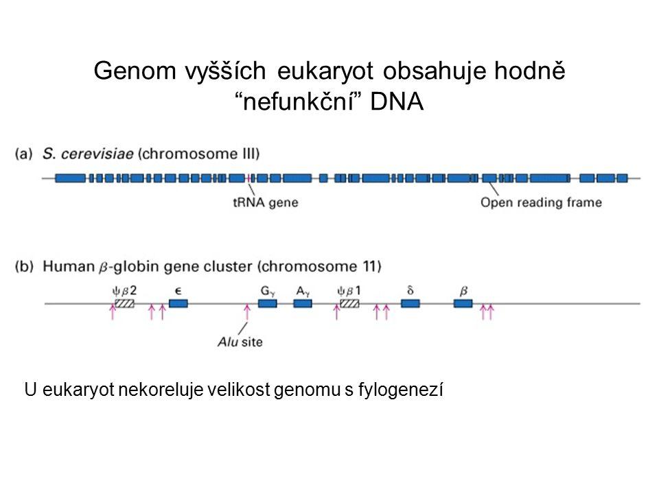 Genom vyšších eukaryot obsahuje hodně nefunkční DNA