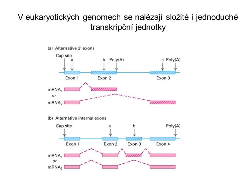 V eukaryotických genomech se nalézají složité i jednoduché transkripční jednotky