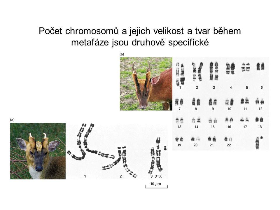 Počet chromosomů a jejich velikost a tvar během metafáze jsou druhově specifické