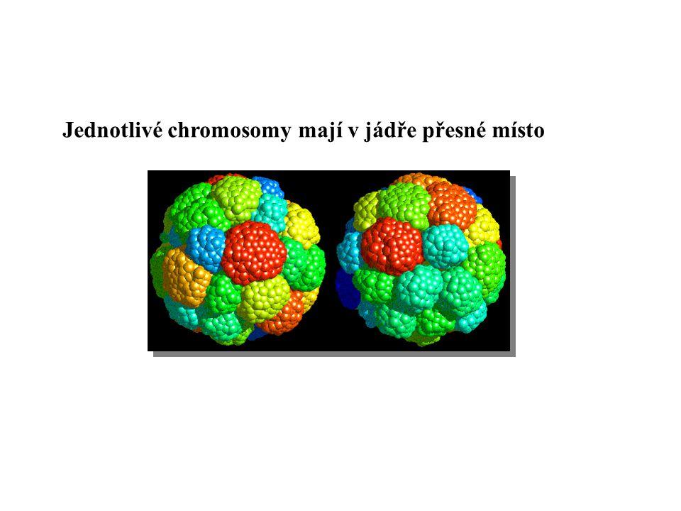 Jednotlivé chromosomy mají v jádře přesné místo