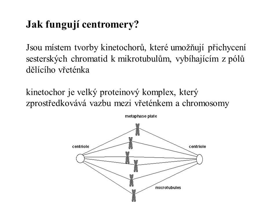 Jak fungují centromery