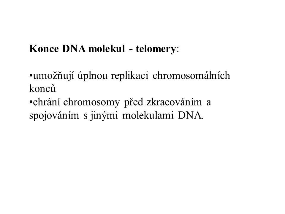 Konce DNA molekul - telomery: