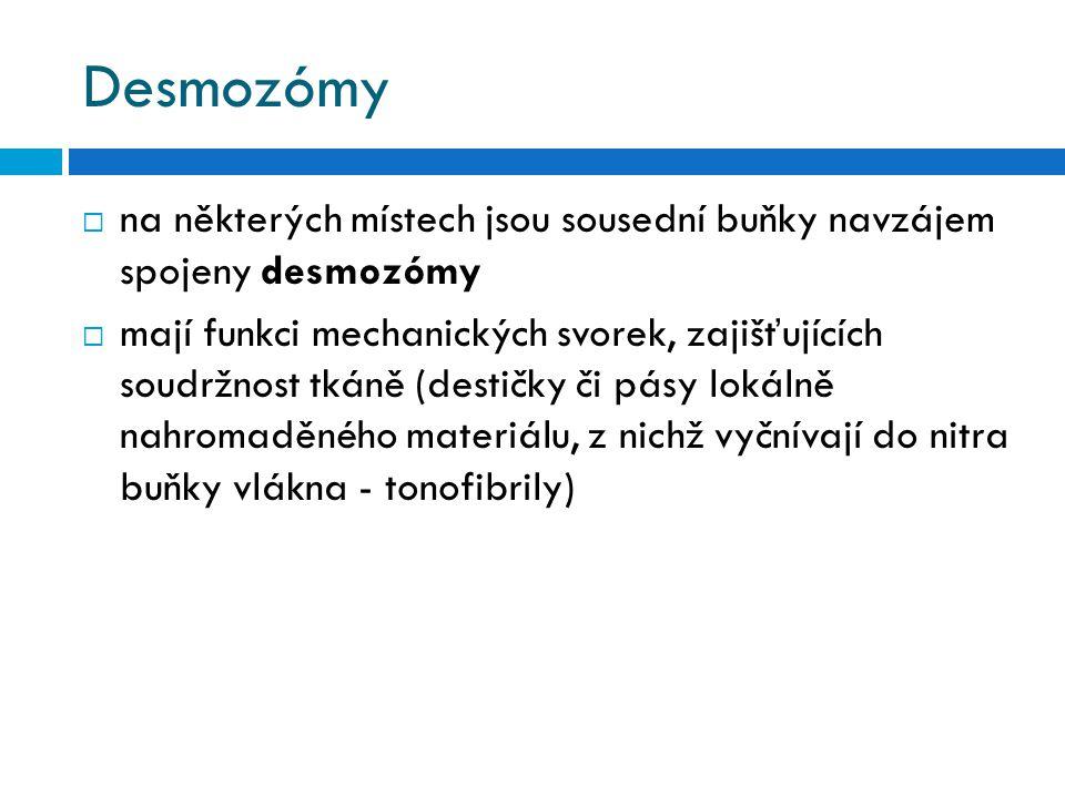 Desmozómy na některých místech jsou sousední buňky navzájem spojeny desmozómy.