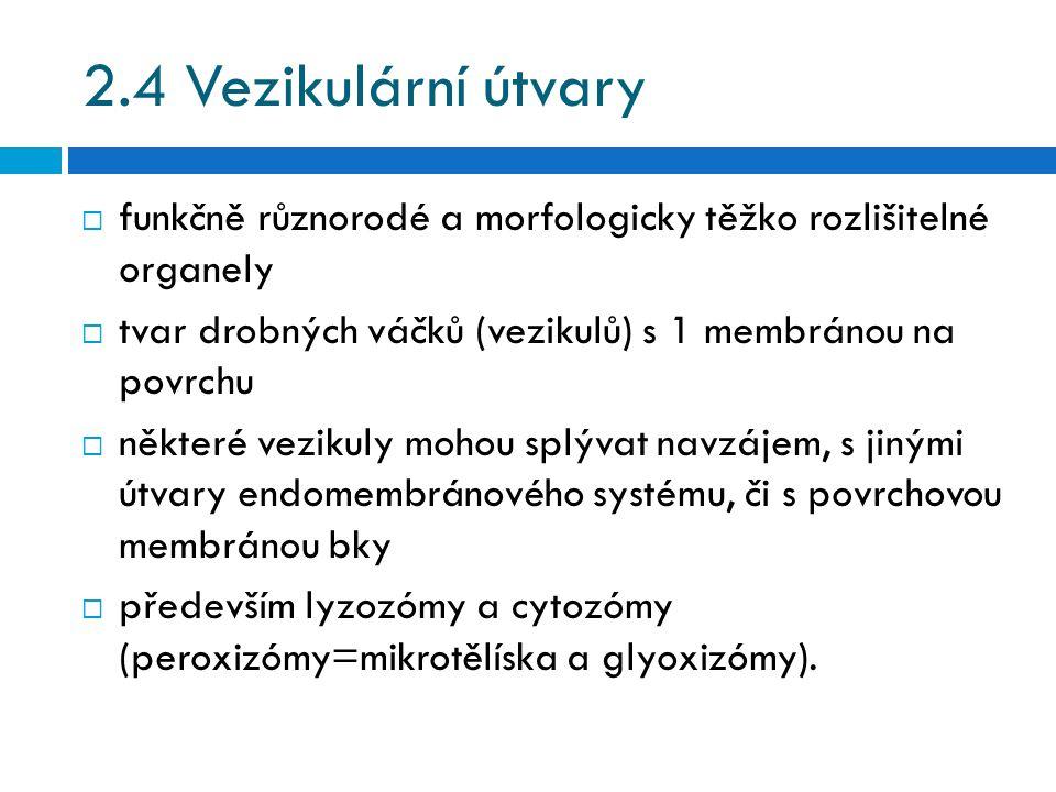 2.4 Vezikulární útvary funkčně různorodé a morfologicky těžko rozlišitelné organely. tvar drobných váčků (vezikulů) s 1 membránou na povrchu.
