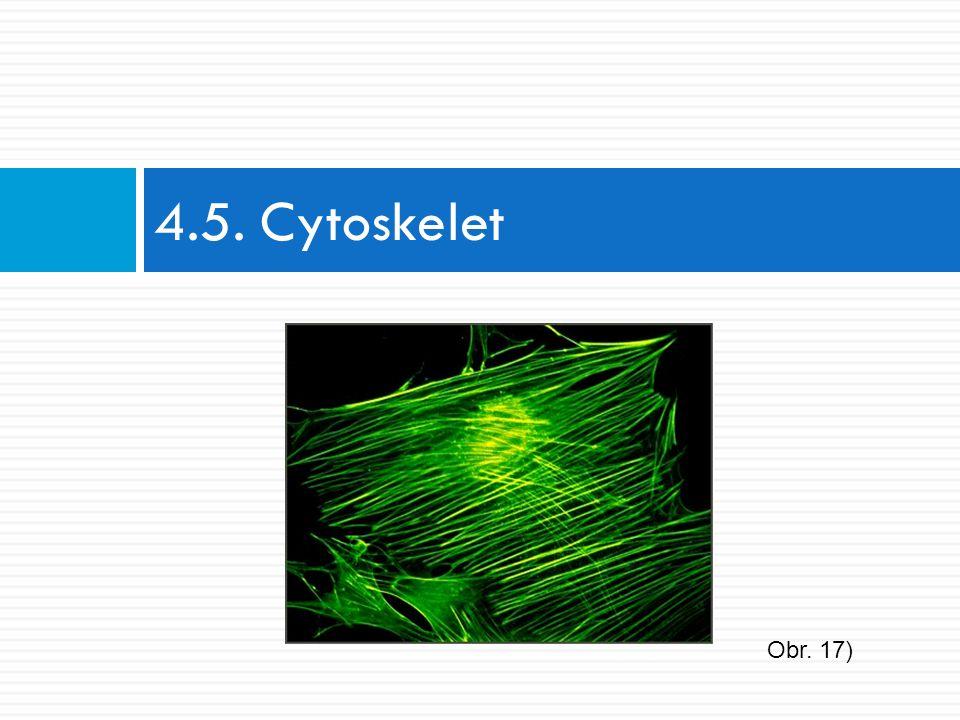 4.5. Cytoskelet Obr. 17)