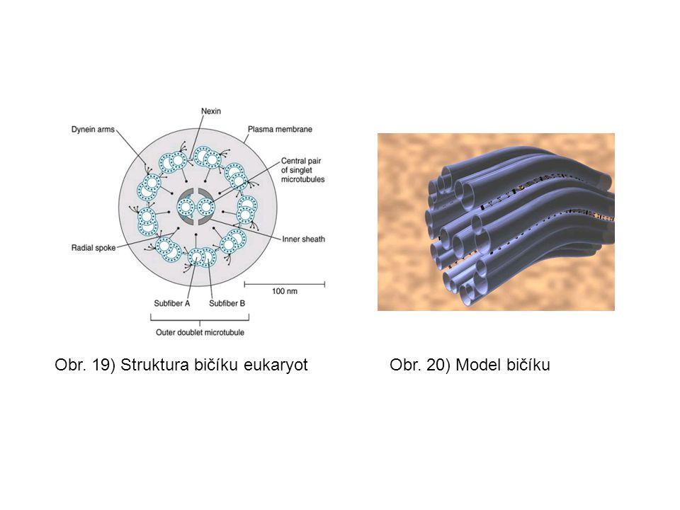 Obr. 19) Struktura bičíku eukaryot