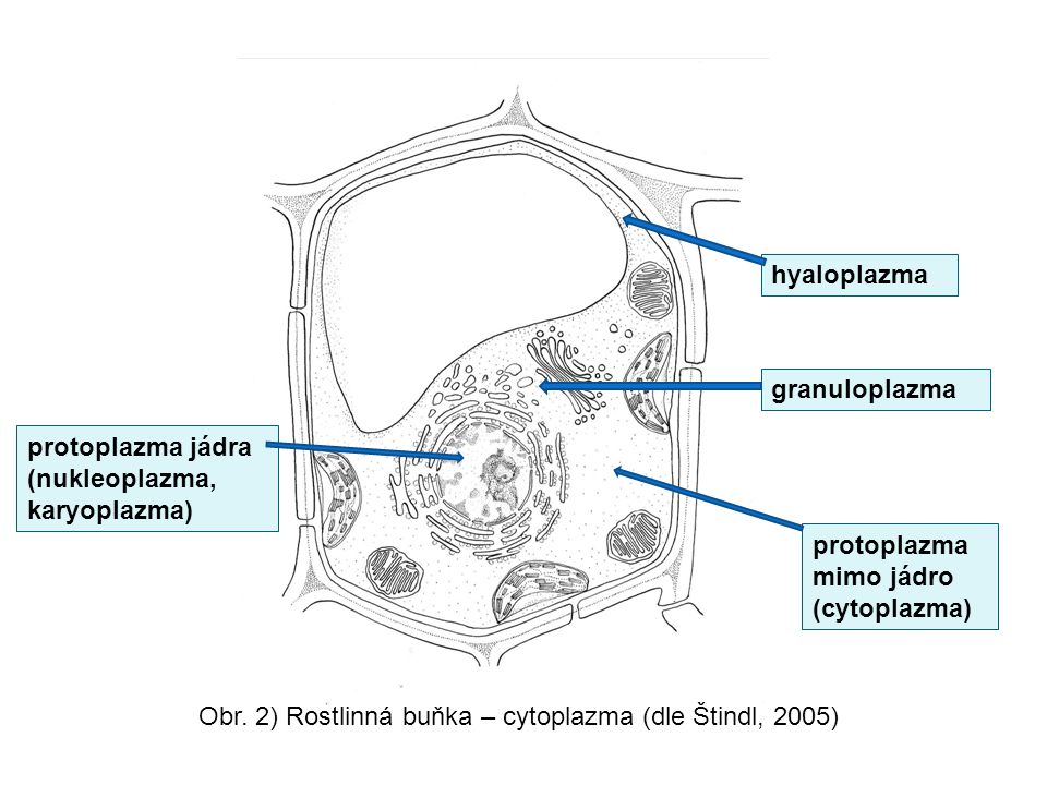 hyaloplazma granuloplazma. protoplazma jádra (nukleoplazma, karyoplazma) protoplazma mimo jádro (cytoplazma)