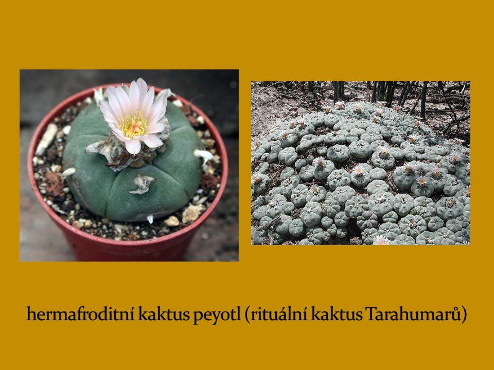 hermafroditní kaktus peyotl (rituální kaktus Tarahumarů)