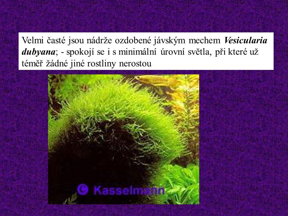 Velmi časté jsou nádrže ozdobené jávským mechem Vesicularia dubyana; - spokojí se i s minimální úrovní světla, při které už téměř žádné jiné rostliny nerostou
