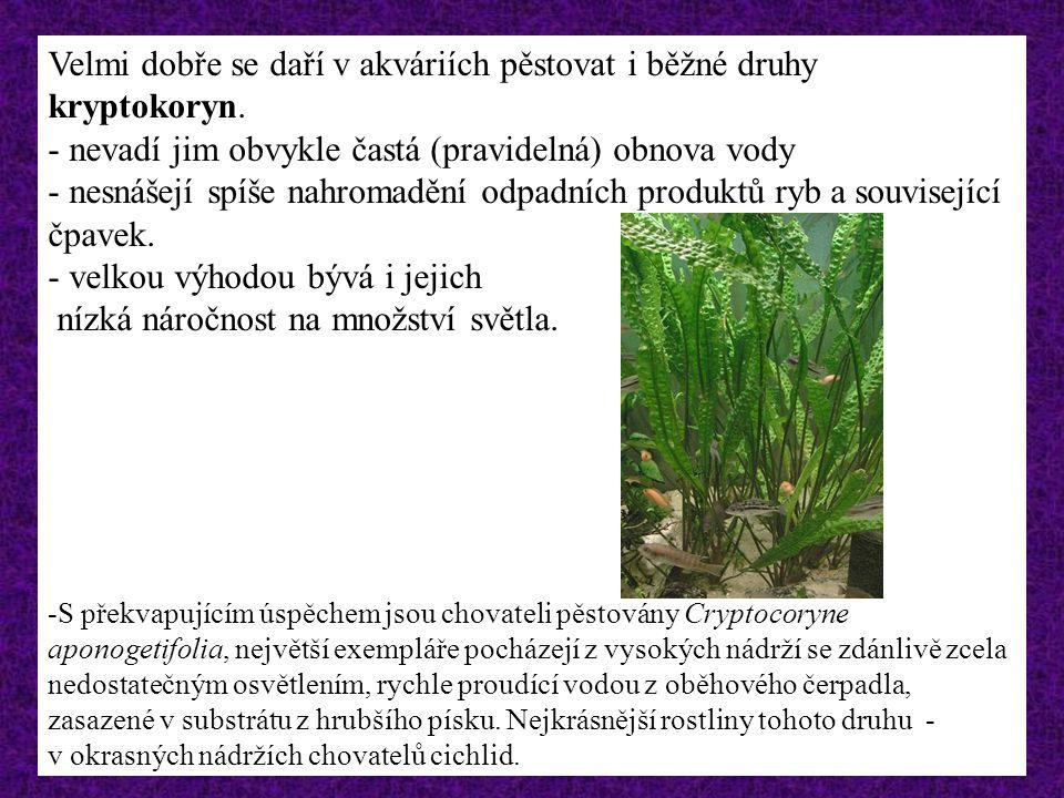 Velmi dobře se daří v akváriích pěstovat i běžné druhy kryptokoryn.