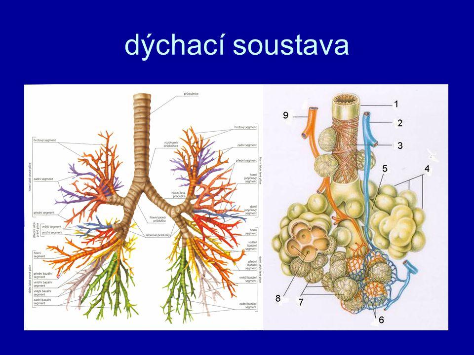 dýchací soustava