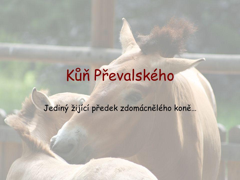 Jediný žijící předek zdomácnělého koně…