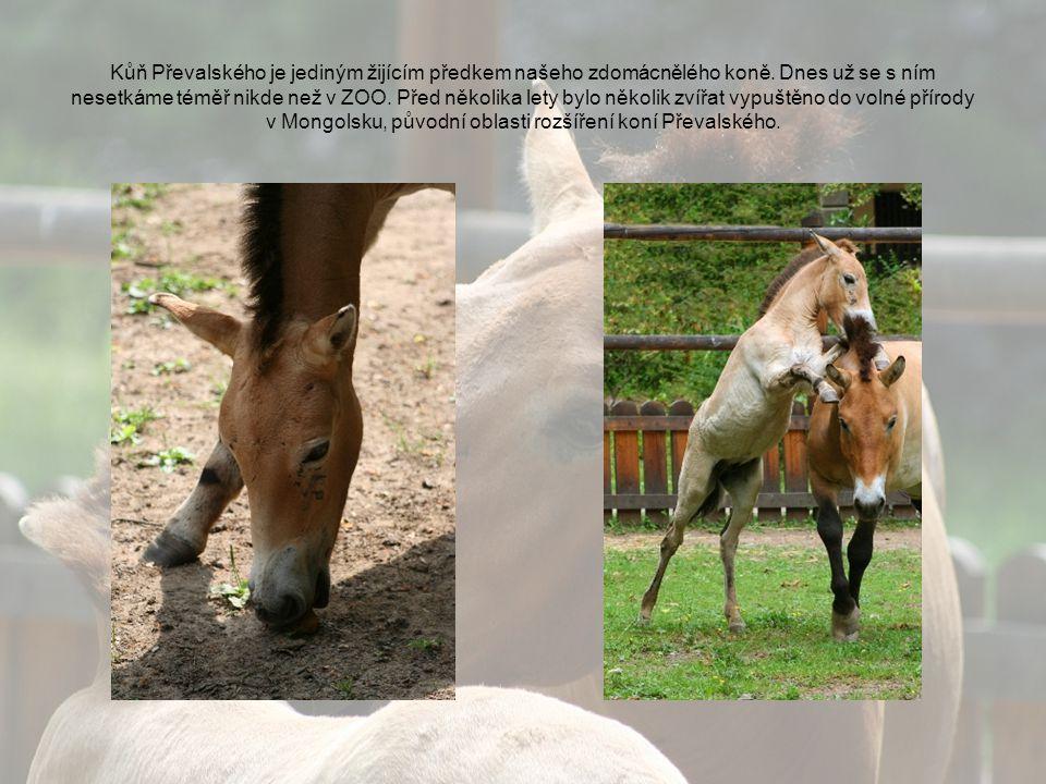 Kůň Převalského je jediným žijícím předkem našeho zdomácnělého koně