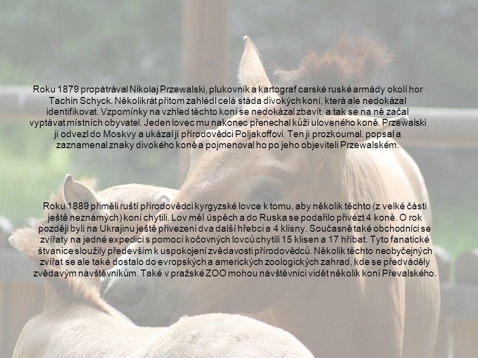 Roku 1879 propátrával Nikolaj Przewalski, plukovník a kartograf carské ruské armády okolí hor Tachin Schyck. Několikrát přitom zahlédl celá stáda divokých koní, která ale nedokázal identifikovat. Vzpomínky na vzhled těchto koní se nedokázal zbavit, a tak se na ně začal vyptávat místních obyvatel. Jeden lovec mu nakonec přenechal kůži uloveného koně. Przewalski ji odvezl do Moskvy a ukázal ji přírodovědci Poljakoffovi. Ten ji prozkoumal, popsal a zaznamenal znaky divokého koně a pojmenoval ho po jeho objeviteli Przewalském.