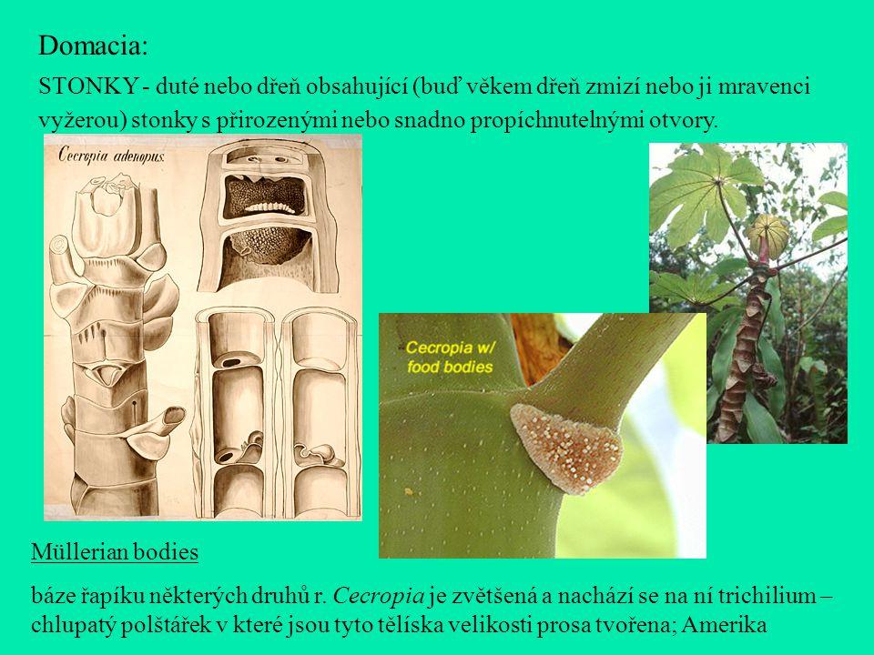 Domacia: STONKY - duté nebo dřeň obsahující (buď věkem dřeň zmizí nebo ji mravenci vyžerou) stonky s přirozenými nebo snadno propíchnutelnými otvory.