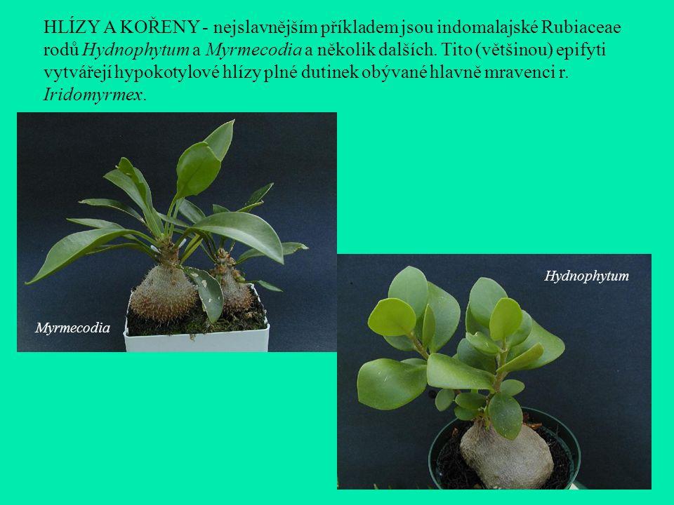 HLÍZY A KOŘENY - nejslavnějším příkladem jsou indomalajské Rubiaceae rodů Hydnophytum a Myrmecodia a několik dalších. Tito (většinou) epifyti vytvářejí hypokotylové hlízy plné dutinek obývané hlavně mravenci r. Iridomyrmex.