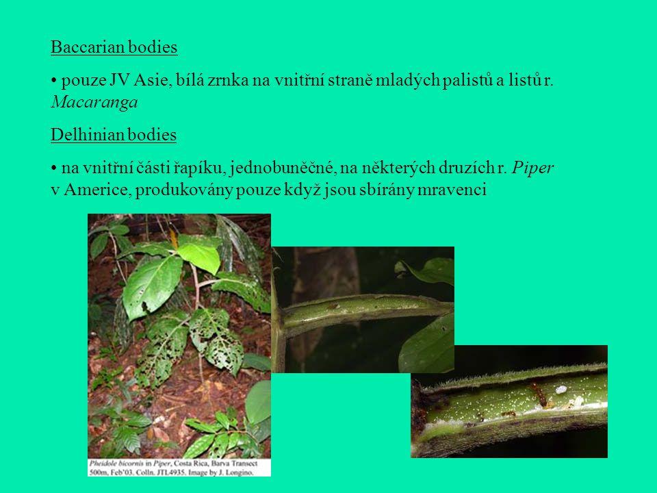 Baccarian bodies pouze JV Asie, bílá zrnka na vnitřní straně mladých palistů a listů r. Macaranga. Delhinian bodies.