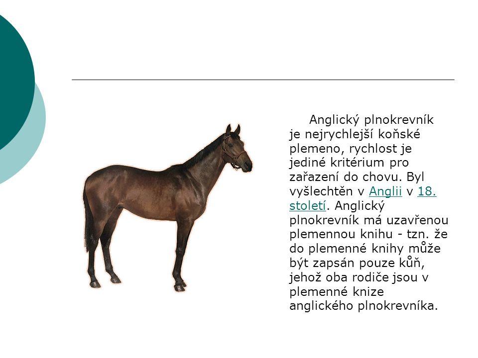 Anglický plnokrevník je nejrychlejší koňské plemeno, rychlost je jediné kritérium pro zařazení do chovu.