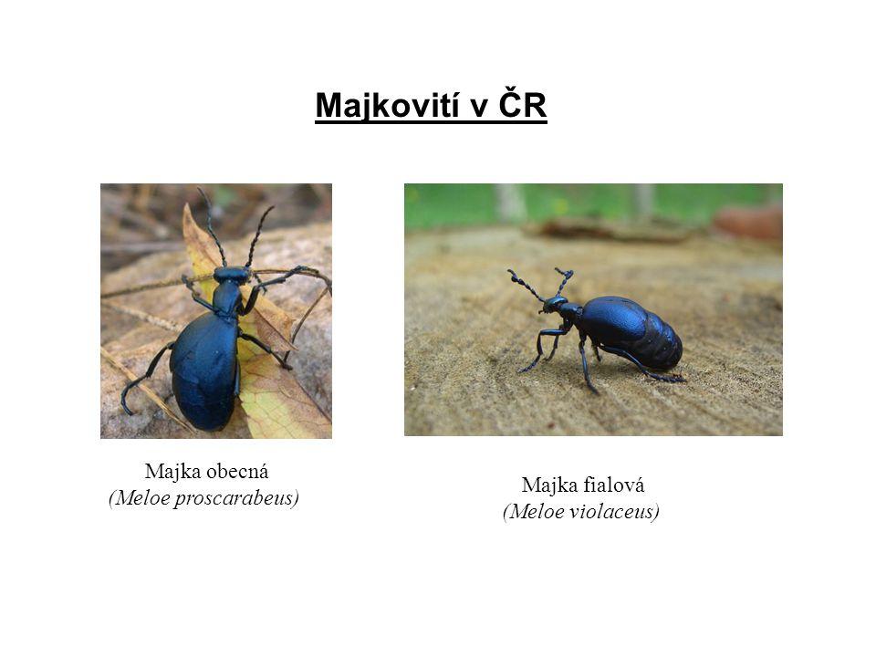 Majkovití v ČR Majka obecná (Meloe proscarabeus) Majka fialová