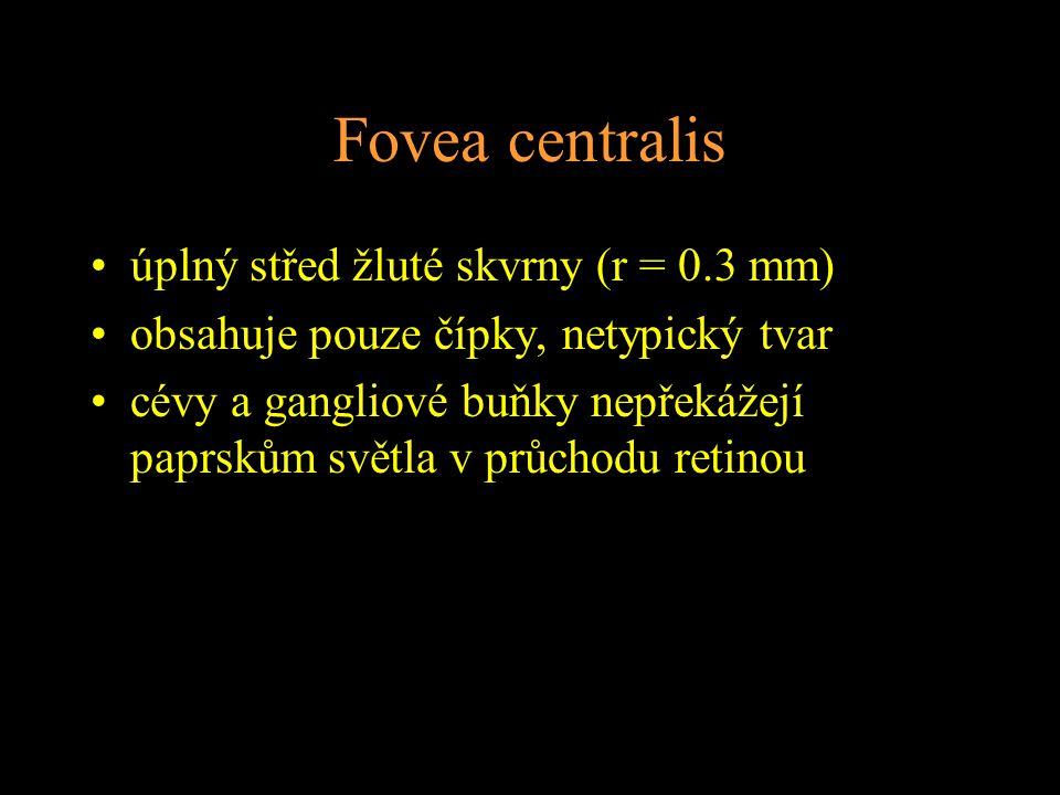 Fovea centralis úplný střed žluté skvrny (r = 0.3 mm)