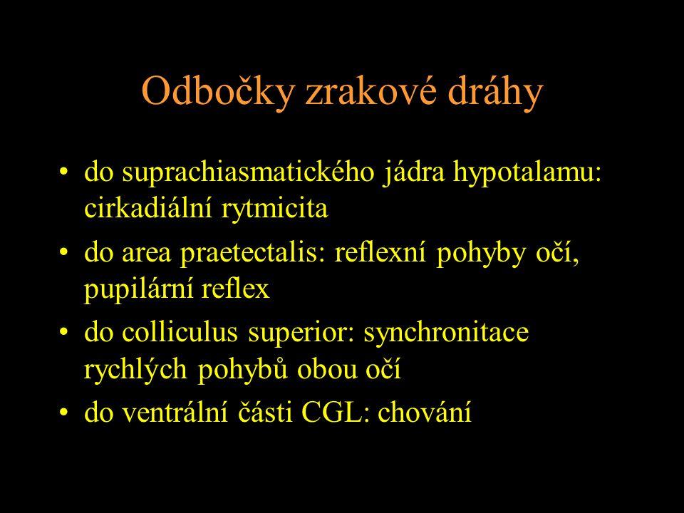 Odbočky zrakové dráhy do suprachiasmatického jádra hypotalamu: cirkadiální rytmicita. do area praetectalis: reflexní pohyby očí, pupilární reflex.