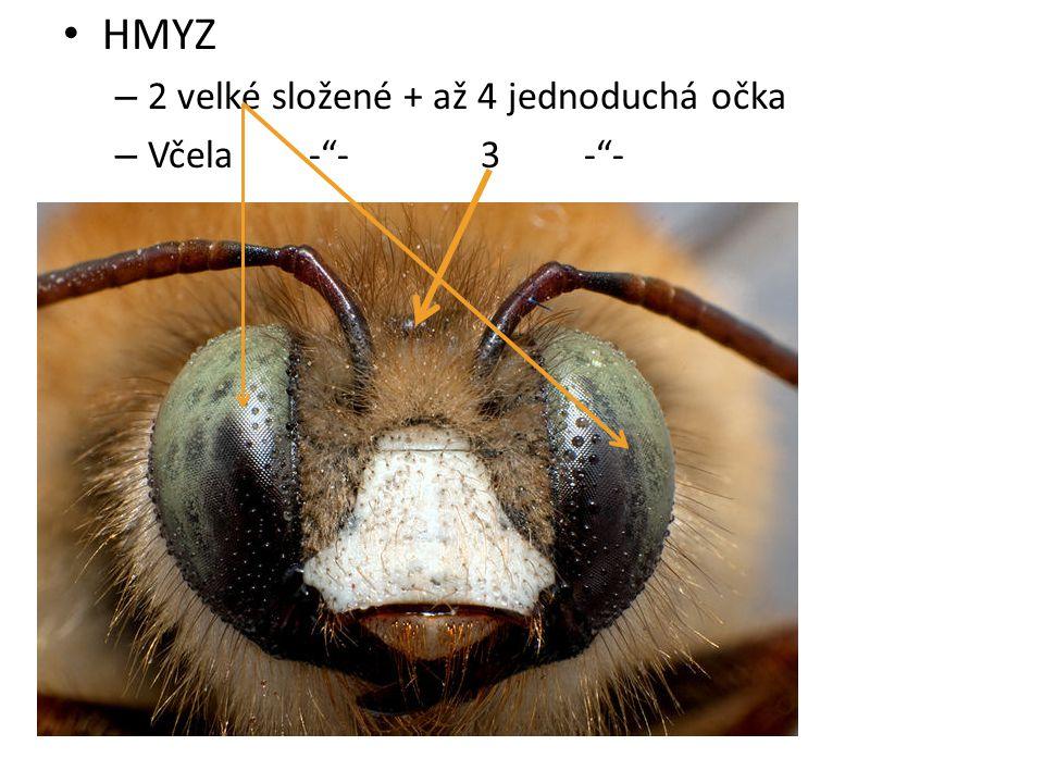 HMYZ 2 velké složené + až 4 jednoduchá očka Včela - - 3 - -