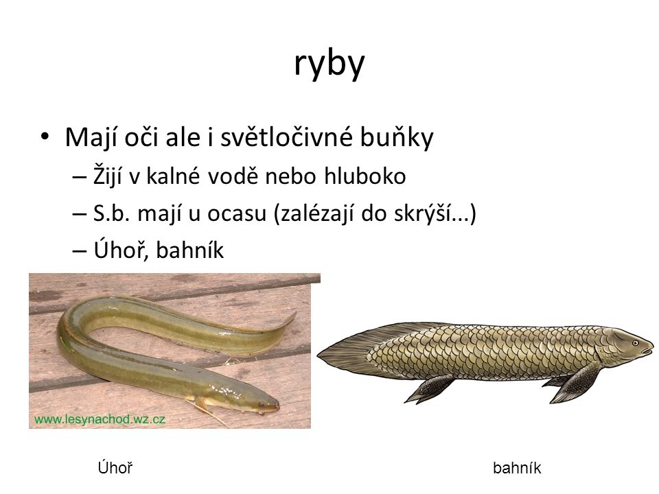ryby Mají oči ale i světločivné buňky Žijí v kalné vodě nebo hluboko